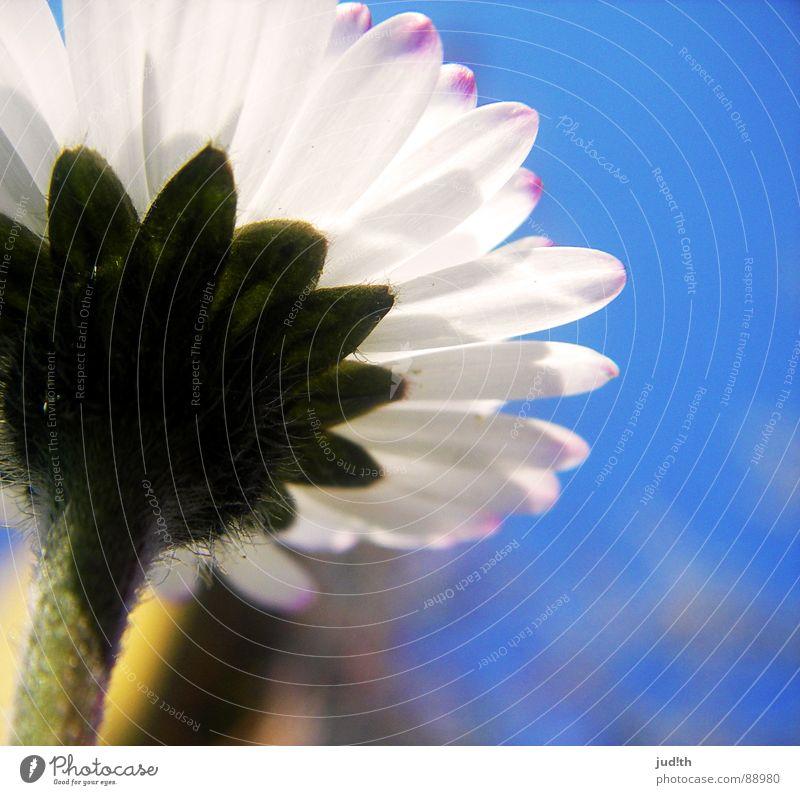 Ameisenperspektive Blume Gänseblümchen Frühling Wiese Blüte Gras weiß grün Blumenwiese Himmel Garten blau Natur