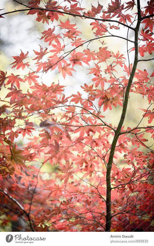 Herbstblätter am Baum verblieben Natur Pflanze schön rot Blatt Wald Leben natürlich Hintergrundbild Stimmung träumen Luft Park authentisch