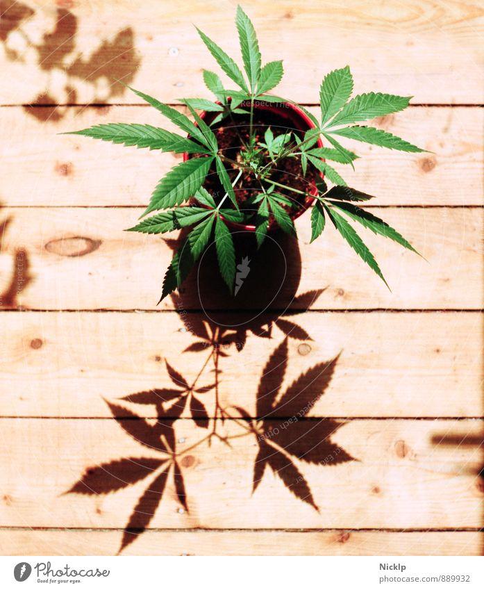 junge Hanfpflanze (Cannabis) im Sonnenlicht auf hellen Holzdielen - Das wächst doch was ...so grün Gras Marihuana THC cbd Legalisierung Drogensucht eigenbedarf
