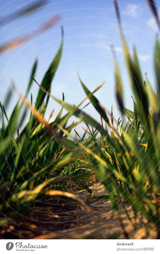 Die Wiese vor lauter Gras nicht sehn. grün Feld Landwirtschaft Schädlinge Froschperspektive Klimaschutz frisch Erde Sand Getreide Mais Ackerbau Blauer Himmel