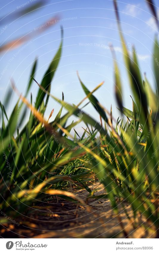 Die Wiese vor lauter Gras nicht sehn. grün Pflanze Sand Feld Erde frisch Bodenbelag liegen Getreide Landwirtschaft Ackerbau Blauer Himmel Traktor Mais