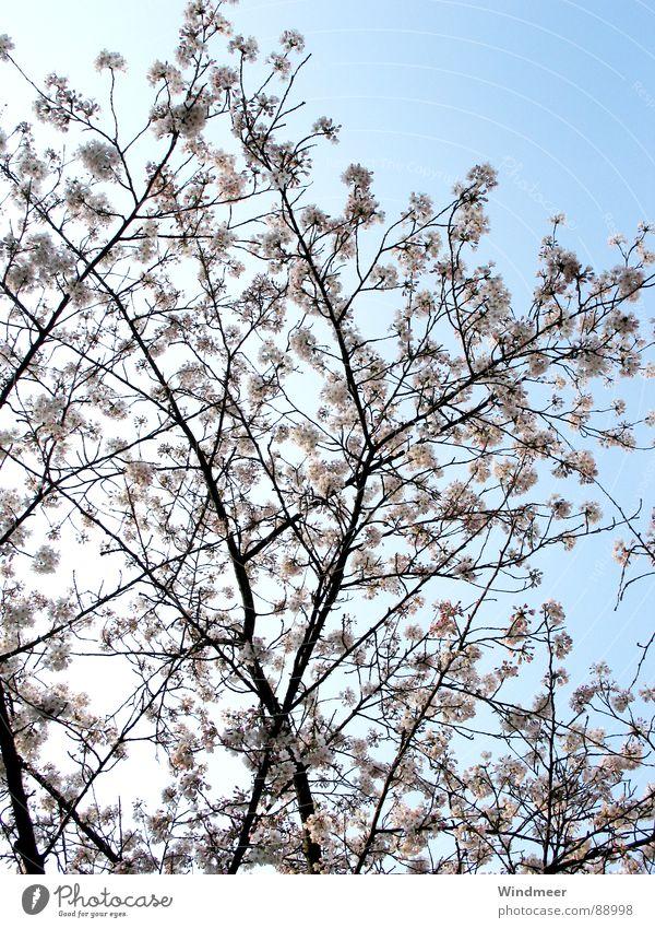 Kirschblüte II Himmel Natur Pflanze Baum Blume Frühling Blüte springen rosa Ast Zweig Blütenknospen Kirsche Bielefeld