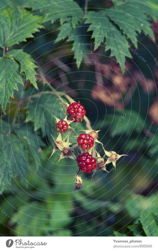 Berry Fruits Außenaufnahme Natur Pflanze Sträucher Brombeeren Brombeerbusch Wald Abenteuer rein Lebensmittel natürlich ökologisch healthy Gesunde Ernährung