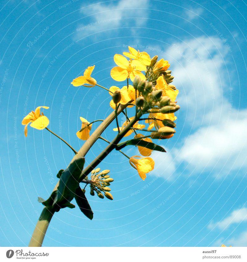 Der Sommer droht I Himmel Blume blau Pflanze gelb Feld Botanik aufwachen