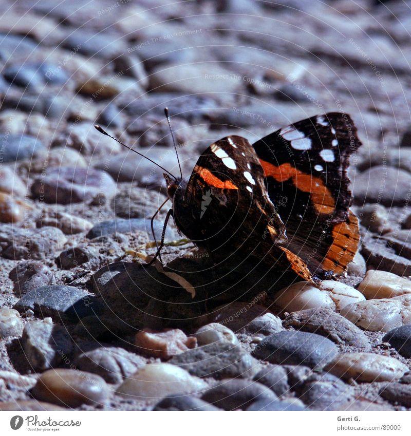 sum like it HoT Schmetterling heiß Physik Sonnenbad Asphalt Erholung Aufenthalt Fühler Insekt schwarz weiß Muster Admiral Stein Mineralien Sommer Wärme