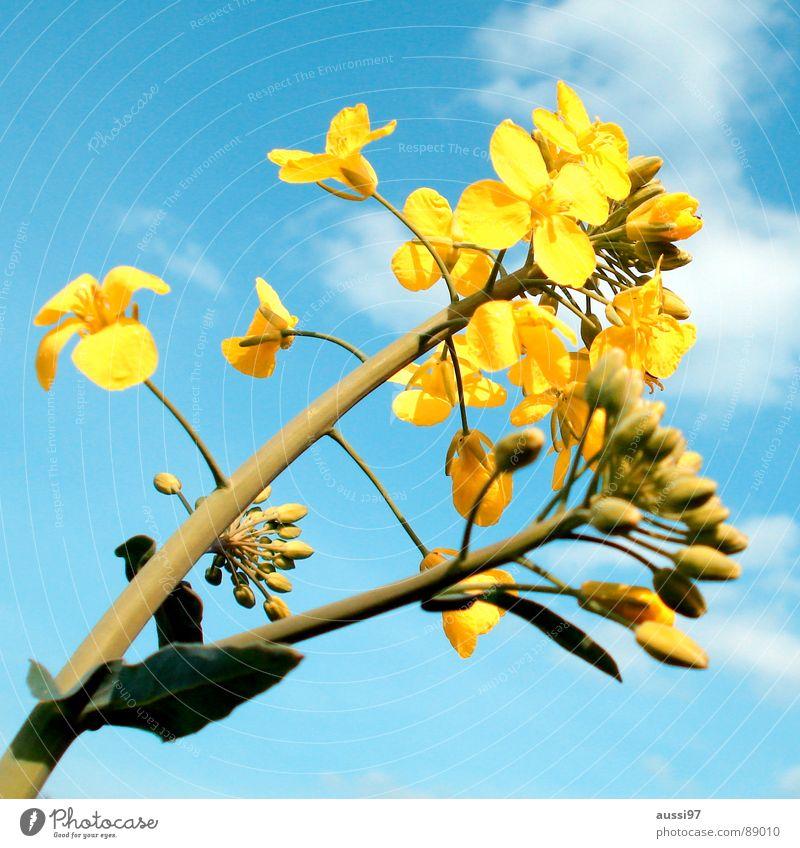 Der Sommer droht II Himmel Blume blau Pflanze gelb Feld Botanik aufwachen