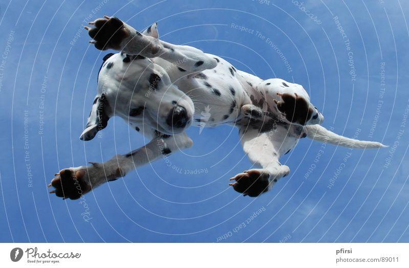 Hund von unten - 5 Tier oben Punkt Fleck Säugetier Haustier scheckig Glasscheibe Froschperspektive Dachfenster Dalmatiner Dalmatien