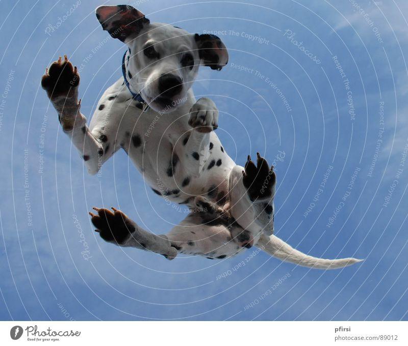 Hund von unten - 6 Tier oben Punkt Fleck Säugetier Haustier scheckig Glasscheibe Dachfenster Dalmatiner Dalmatien