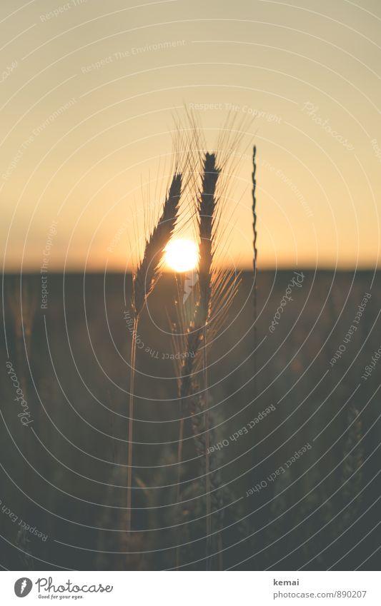 I, I, I will battle for the sun Himmel Natur Pflanze Sommer Sonne ruhig Umwelt Glück Feld Wachstum Zufriedenheit gold Lebensfreude Schönes Wetter Landwirtschaft