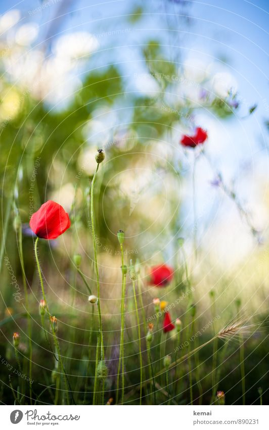 Wegesrandflora Himmel Natur blau Pflanze schön grün Sommer rot Blume Umwelt Wiese Gras Blüte Wachstum frisch Schönes Wetter