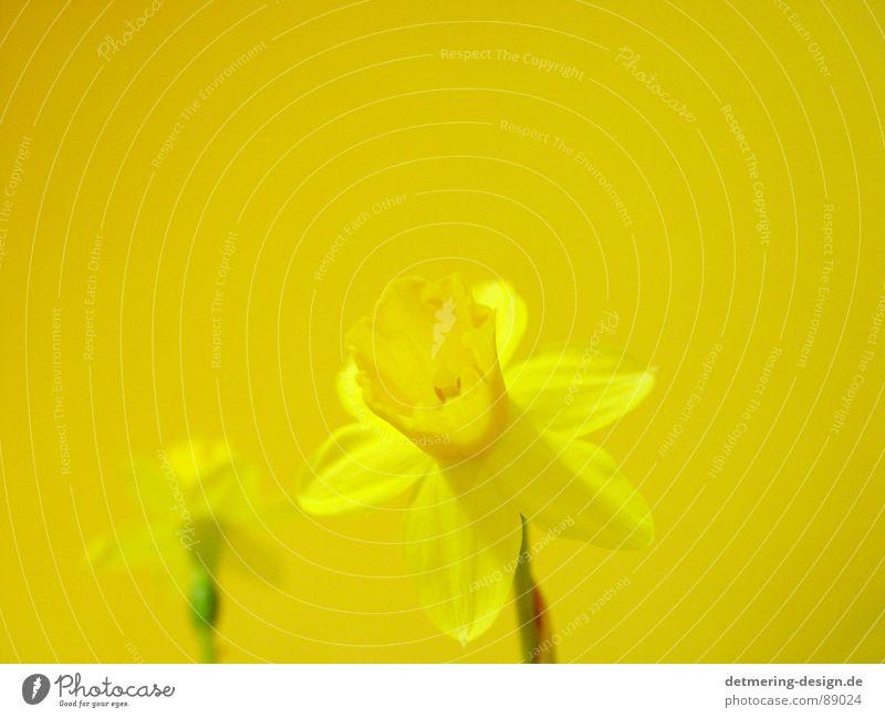 gelbe blume auf gelbem grund* Pflanze grün schön Sommer Sonne Blume Freude Wärme Blüte Glück hell 2 Wachstum Blühend Warmherzigkeit