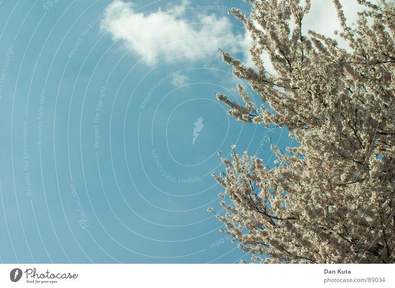Achtung: Blüten im Umlauf! Himmel weiß blau Freude Wolken Frühling Freiheit Wärme frei Fröhlichkeit offen Physik heiß Blühend Symbole & Metaphern Glaube