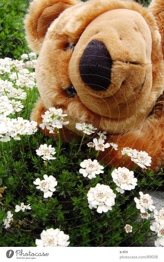 Bruno zeigt Frühlingsgefühle Teddybär Blumenwiese Kuscheln weich süß Bär Garten Kindheit kuschlig Lächeln Nase Nahaufnahme Außenaufnahme Menschenleer Plüsch