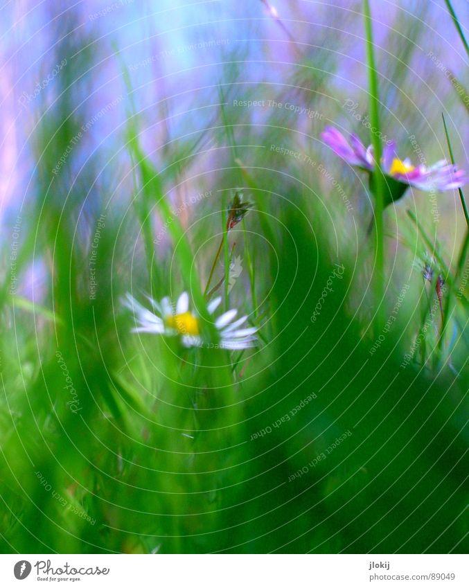 Unver-Blümt Gänseblümchen Blume Pflanze Wiese grün Frühling Sommer Blüte Gras Unschärfe weiß Hintergrundbild Natur lieblich zart weich Rasen Himmel blau