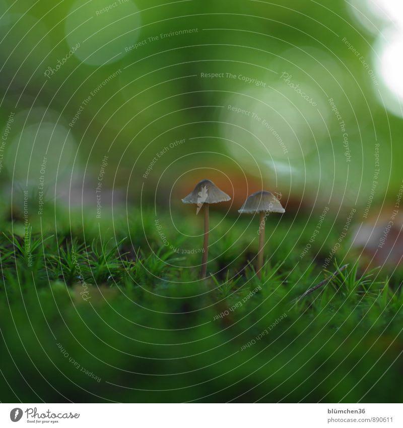 Im Herbst... Natur Pflanze Moos Pilz Pilzhut Moosteppich Wald stehen Wachstum schön klein lecker natürlich schleimig braun grün Lebensmittel Ernährung Gift