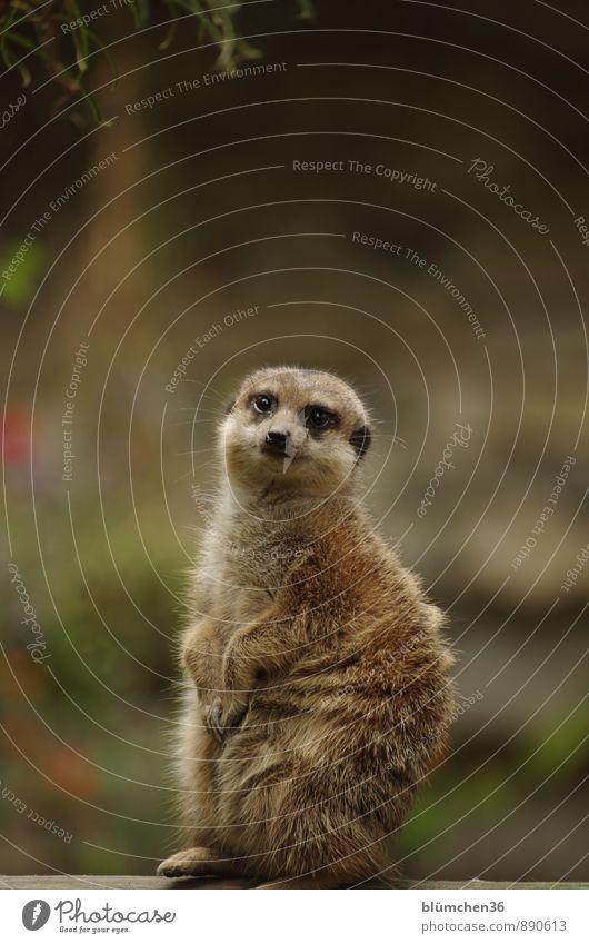 Was machst Du? Tier Wildtier Tiergesicht Fell Pfote Erdmännchen Säugetier Landraubtier Manguste beobachten hocken Blick stehen frech lustig Neugier Wachsamkeit