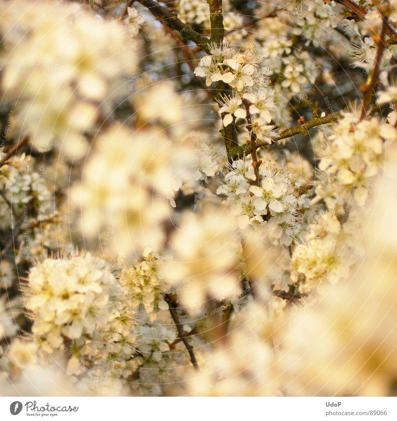 Schlehenschnee Schwarzdorn weiß Abend Blüte Tiefenschärfe Frühling Makroaufnahme Nahaufnahme Zweig Blühend Niveau Duft