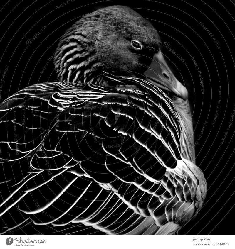 gans ruhig Gans Graugans schlafen Vogel schwarz weiß Feder Schnabel dunkel Wildgans Trauer Schwarzweißfoto schön Erholung Natur feldgans wasservogel Traurigkeit