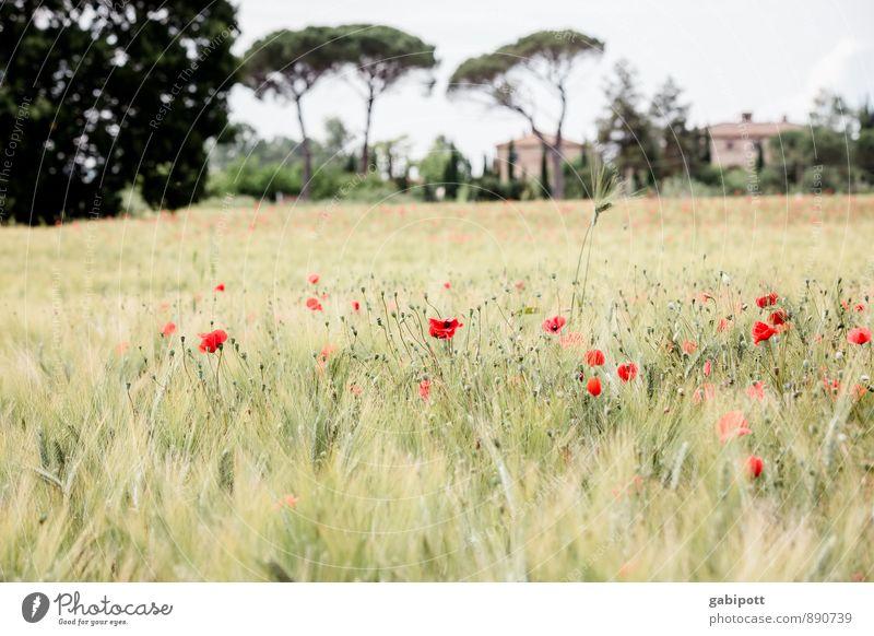 Mohn am Mittwoch Natur Ferien & Urlaub & Reisen Pflanze Farbe Sommer Sonne Erholung rot Blume Landschaft ruhig Ferne Blüte Freiheit Zufriedenheit Tourismus