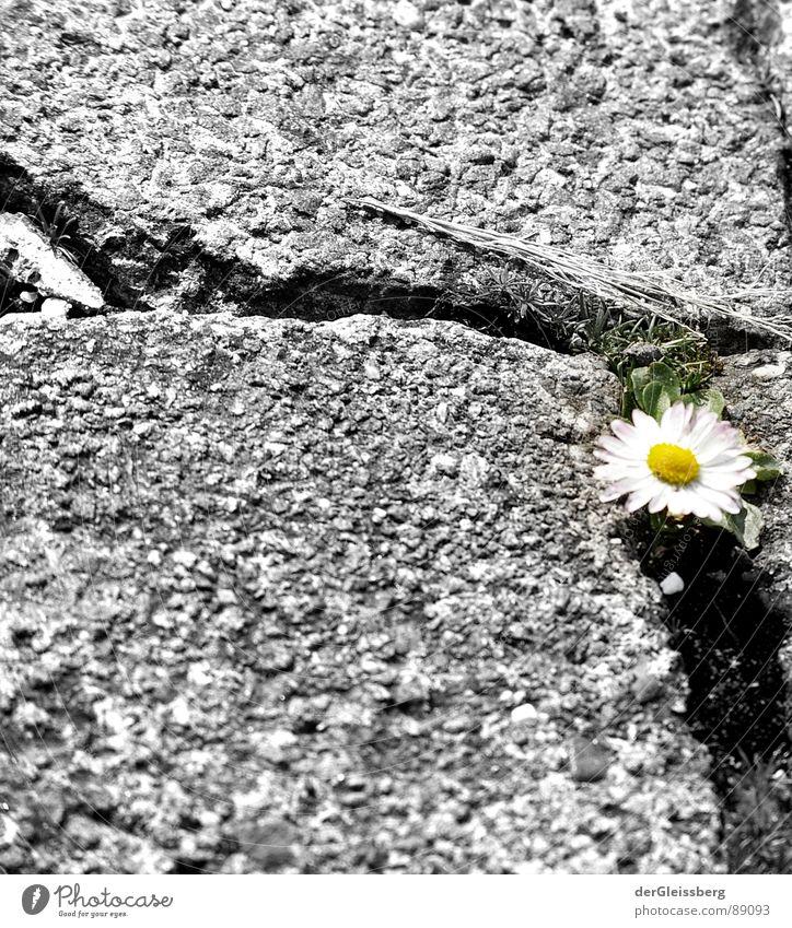 Urbanes Nischendarsein Natur weiß grün Pflanze Blume gelb Leben kalt grau Wege & Pfade Stein Frühling Kraft Bürgersteig Riss