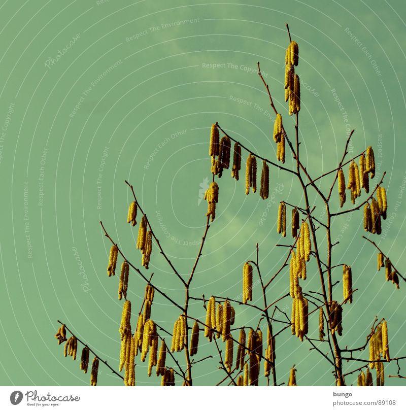 Frühblüher Himmel Baum Wolken Frühling Blüte Wachstum Ast Blühend Zweig Pollen Fortpflanzung Haselnuss Reifezeit bestäuben Fertilisation