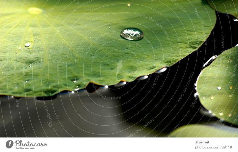 seerose Seerosen Blume Blüte Rose Pflanze Teich dunkel schwarz grün Reflexion & Spiegelung Licht Samt samtig Teppich feucht kalt Morgen einzeln Einsamkeit