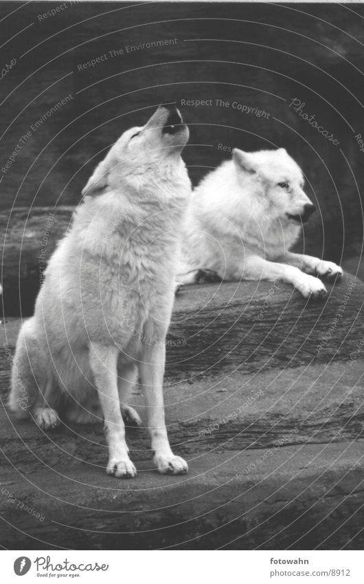 Wolfsgrube Zoo Wolf