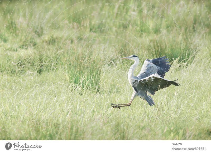 Landeanflug, letzte Phase Schönes Wetter Gras Wiese Moor Sumpf Bremen Tier Wildtier Vogel Reiher Graureiher 1 rennen fliegen Geschwindigkeit sportlich gelb grau