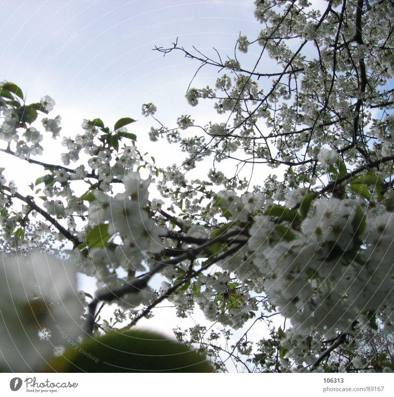 WILDE KNOSPEN TREIBENS BUNT Pflanze Geäst Wachstum Frühling austreiben sprießen Blüte Kirsche Kirschblüten Blume Physik Sonnenstrahlen Baum Park grün weiß Blatt