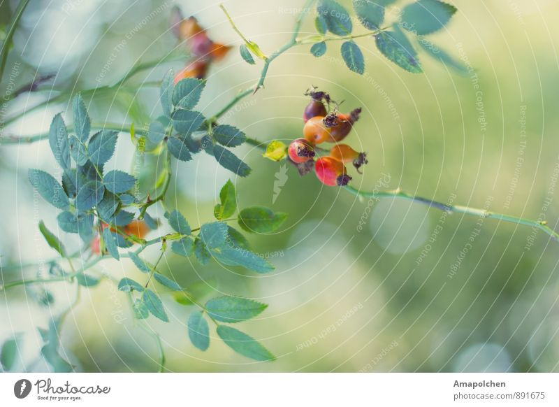 ::14-37:: Umwelt Natur Landschaft Pflanze Tier Sommer Herbst Schönes Wetter Sträucher Blatt Garten Park Wald ästhetisch Klima Spazierweg Hagebutten Biologie