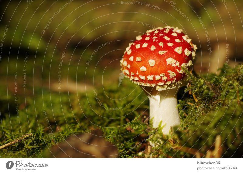 Im Wald Natur Pflanze Herbst Moos Fliegenpilz Pilz Pilzhut stehen Wachstum bedrohlich natürlich rund schön grün rot weiß Glücksbringer Märchenwald