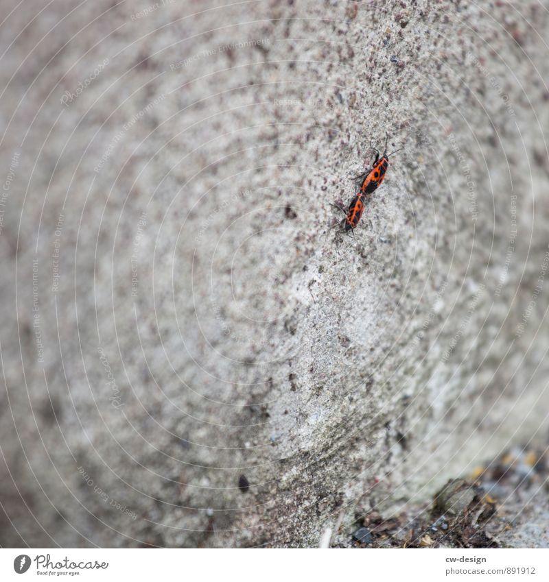 Gemeine Feuerwanzen Frühling Sommer Herbst Mauer Wand Fassade Tier Wanze Käfer Feuerkäfer 2 Tierpaar Arbeit & Erwerbstätigkeit berühren sprechen entdecken