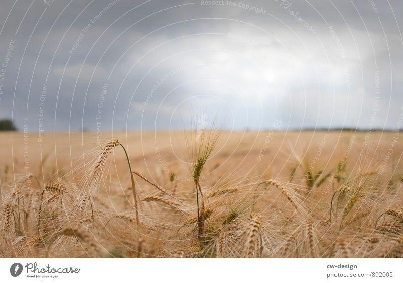 Goldene Ähre Umwelt Natur Landschaft Pflanze Himmel Wolken Gewitterwolken Sonnenlicht Sommer Wetter Schönes Wetter schlechtes Wetter Feld Hügel Kitsch lecker