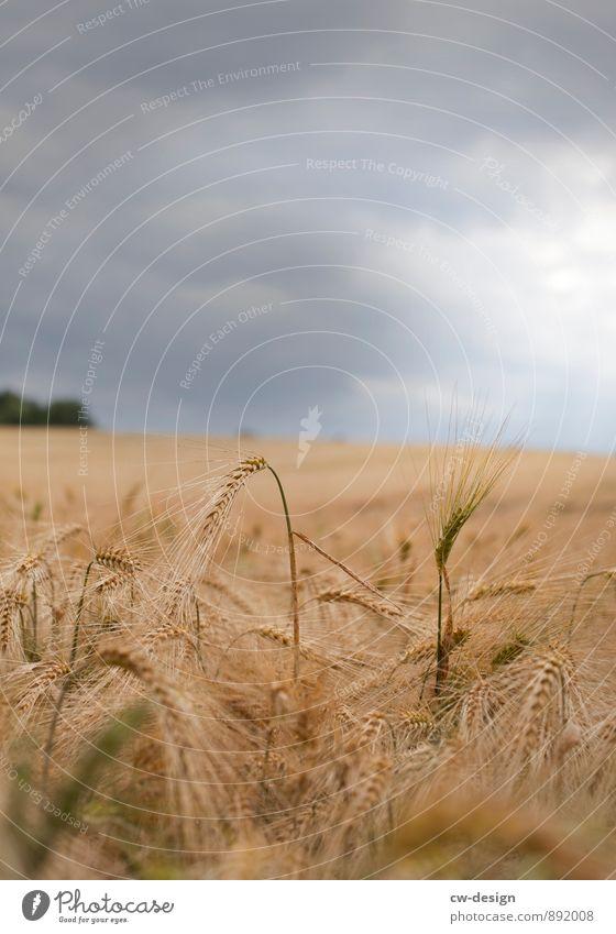 Bauerngold Umwelt Natur Landschaft Pflanze Wolken Gewitterwolken Sommer Herbst Wetter schlechtes Wetter Unwetter Gras Nutzpflanze Feld nachhaltig natürlich