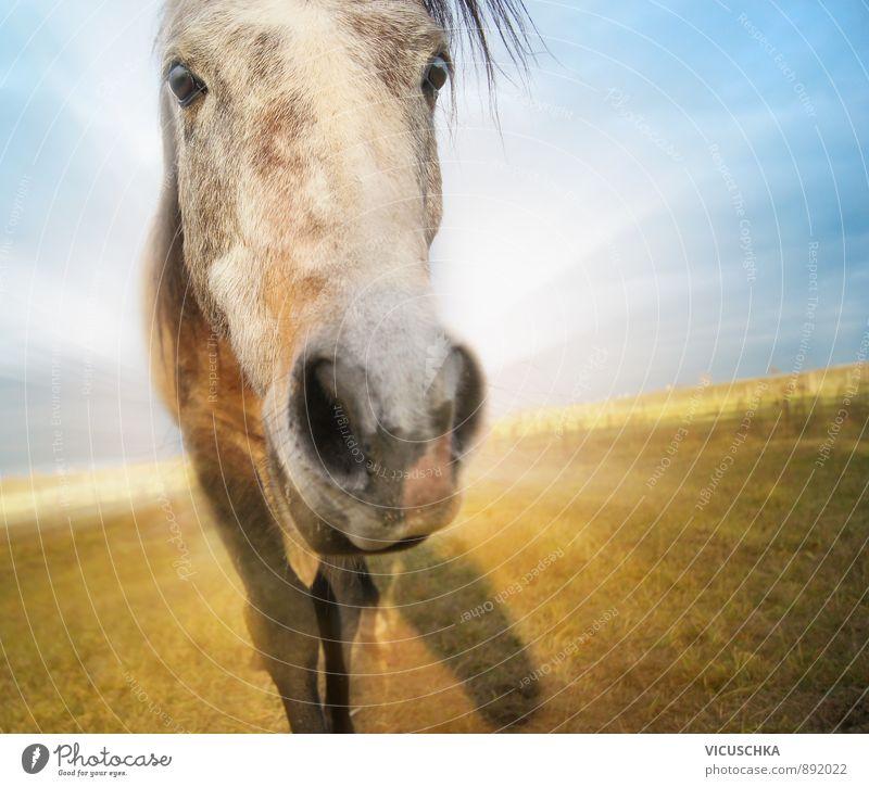 lustiges Pferd auf Herbst Feld Hintergrund mit blauem Himmel Natur Ferien & Urlaub & Reisen Pflanze schön Sommer Sonne Landschaft Freude Tier gelb Wiese Glück