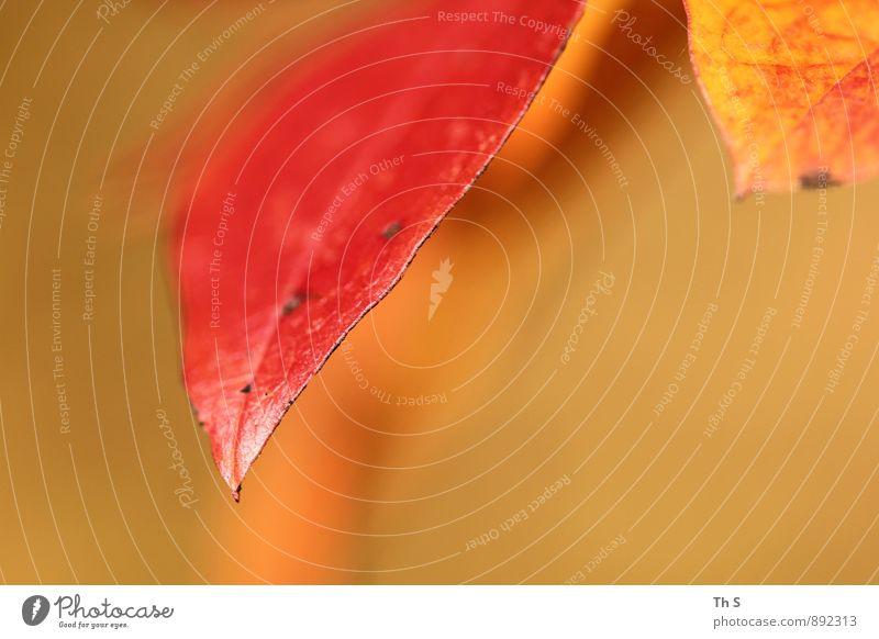 Blatt Natur Pflanze Sommer Herbst Blühend ästhetisch authentisch einfach elegant natürlich orange rot geduldig ruhig Farbe Gelassenheit harmonisch schön
