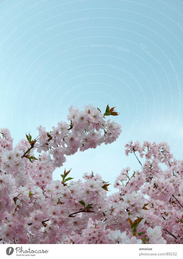 Sakura I Himmel Natur blau weiß Blume Wolken Frühling rosa Kirschblüten Alster