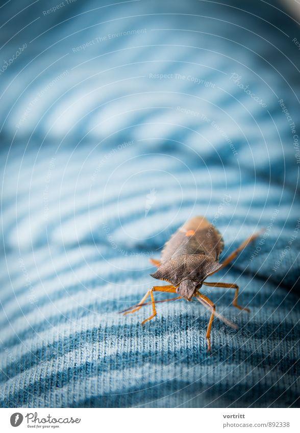 Stinkkäfer Umwelt Natur Tier Käfer 1 bedrohlich Duft blau braun Angst Todesangst Ekel Farbfoto Gedeckte Farben Außenaufnahme Textfreiraum oben Tag Tierporträt