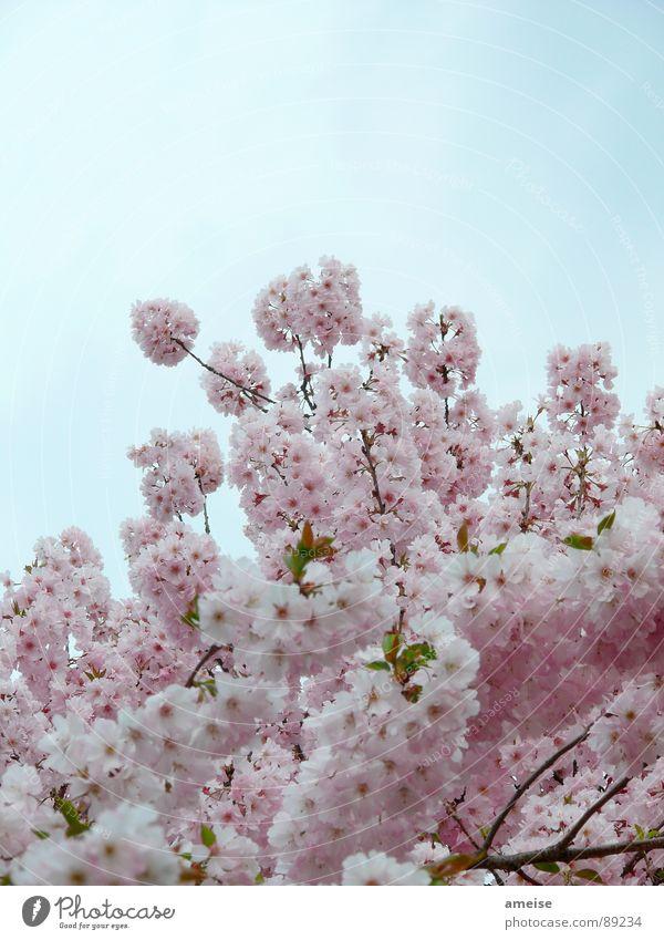 Sakura II Himmel Natur blau weiß Blume Wolken Frühling rosa Kirschblüten Alster