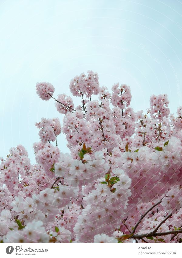 Sakura II Kirschblüten Wolken rosa weiß Alster Blume Frühling japanische Kirschblüte Natur Himmel blau