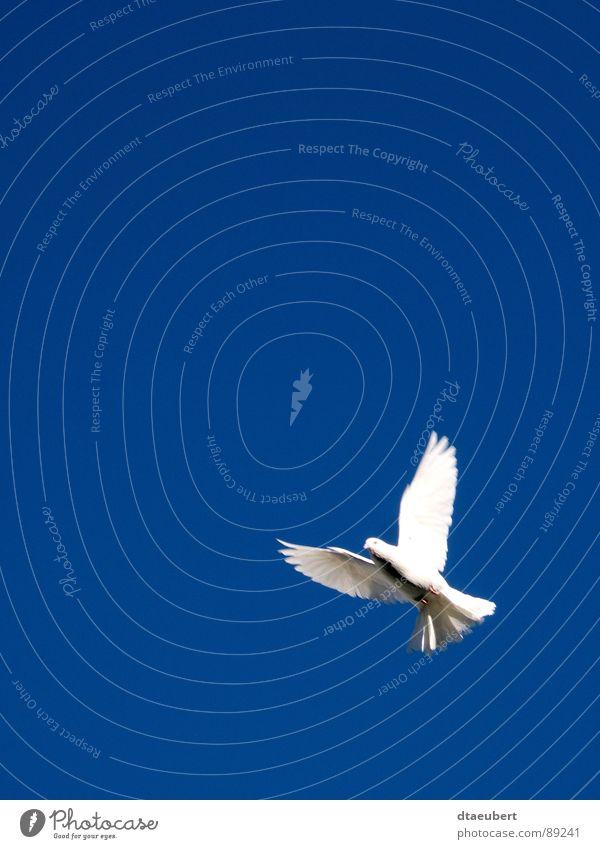 Holy Spirit Taube weiß Symbole & Metaphern Friedenstaube Vogel Religion & Glaube weisse Taube blau Himmel Heiliger Geist fliegen Freiheit dtaeubert