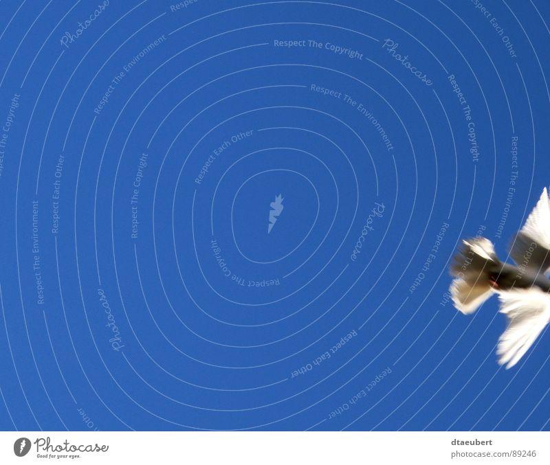 schnell weg Taube weiß Symbole & Metaphern Friedenstaube Vogel Religion & Glaube weisse Taube blau Himmel Holy Spirit Heiliger Geist fliegen Freiheit dtaeubert