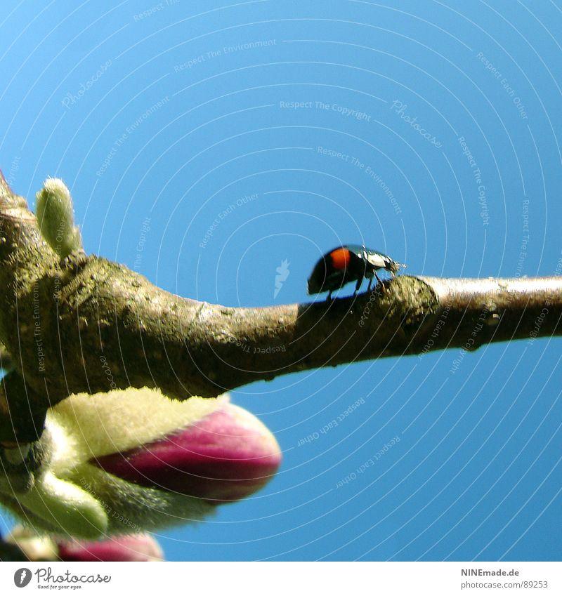 Krabbelkäferchen Himmel Baum grün blau rot Freude schwarz Blüte Frühling braun lustig klein rosa gefährlich Ast Punkt