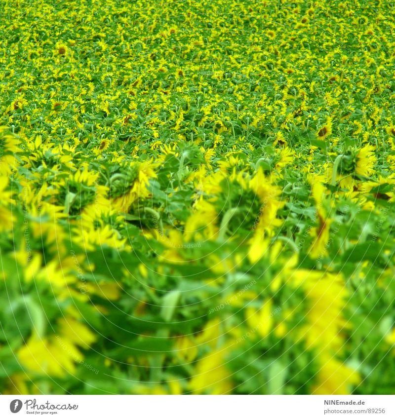 Sonnenblümelies Blume grün Sommer gelb Blüte Feld Perspektive Fröhlichkeit mehrere Blühend viele Sonnenblume Sonnenblumenfeld