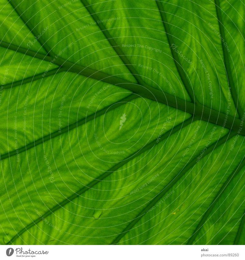 Das Blatt Pflanze Urwald Südamerika Wildnis grün Botanik Pflanzenteile Kletterpflanzen pflanzlich Umwelt Sträucher Frühling Garten Park akai Natur