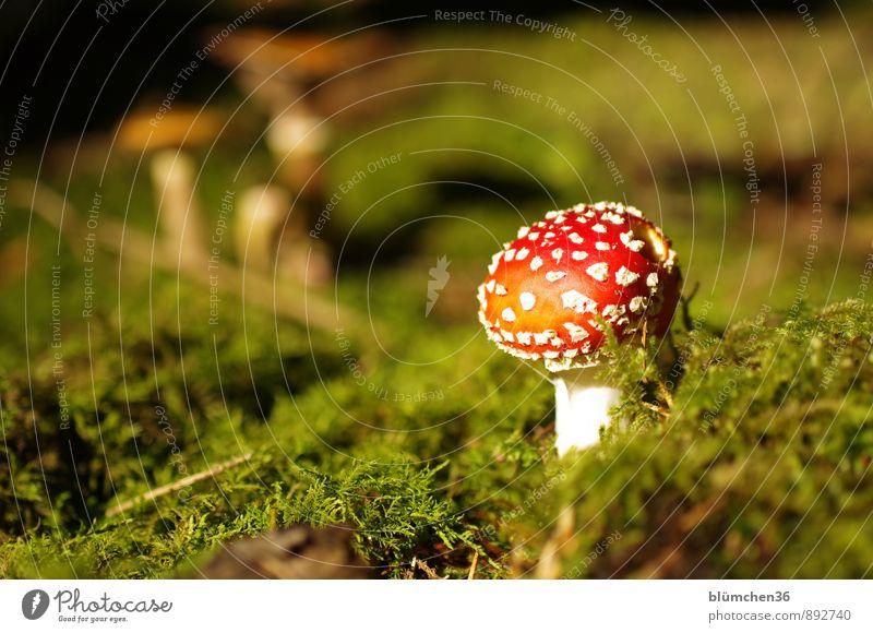 Im Märchenwald Natur Pflanze schön grün weiß rot Wald Herbst natürlich Glück Wachstum stehen gefährlich bedrohlich rund Moos