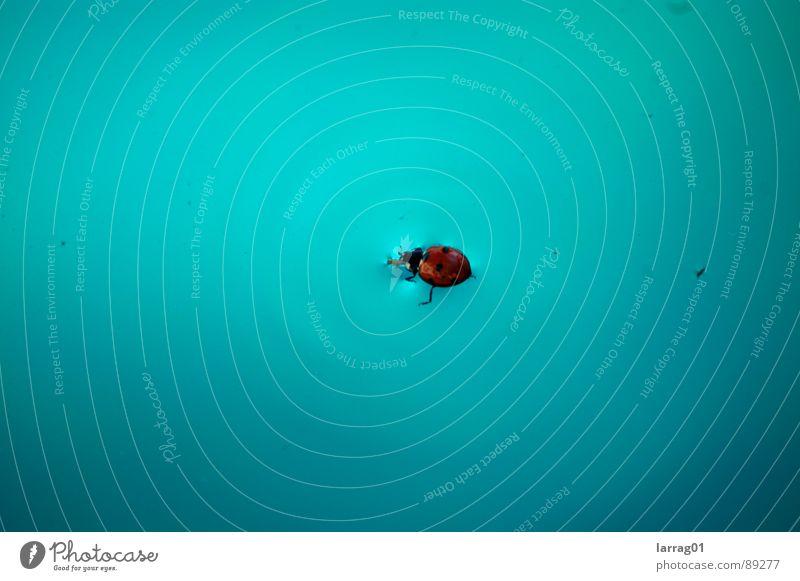 Insekt im Pool Marienkäfer türkis Punkt Landeplatz Desaster ertrinken Bruchlandung Glücksbringer Schwimmbad Schiffsbug Strukturen & Formen Oberflächenspannung