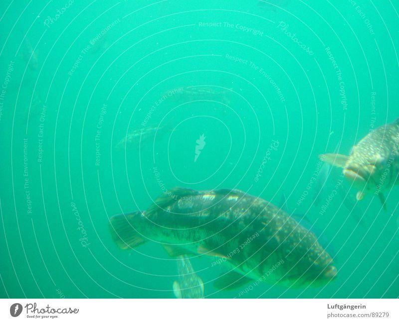 Fischers Fritze fischt frische Fische Meer Aquarium U-Boot grün Catalina Island Natur Wasser