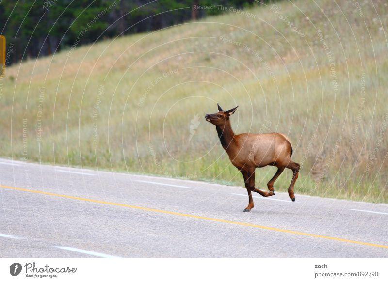 Straßenballett Landschaft Pflanze Gras Wiese Wald Hügel Berge u. Gebirge Rocky Mountains Wege & Pfade Tier Wildtier Fell Elk Wapiti-Hirsche Paarhufer Reh 1