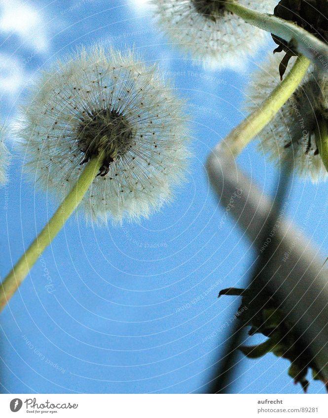 Pusteblume Blume Löwenzahn Froschperspektive Wiese Frühling Sommer klein grün Wolken Stengel winzig Hayfield Himmel Natur Zwerg Mai Feld Nachmittag Samen blau